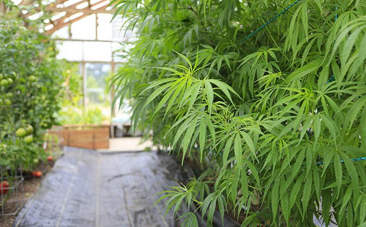 Branding Marijuana: An Explosive Growth Industry